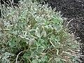 Ballota pseudodictamnus (Labiatae).jpg