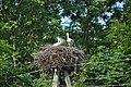 Baltā stārķa ligzda Nr.3006, Mālpils, Mālpils pagasts, Mālpils novads, Latvia - panoramio.jpg