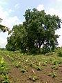 Banana plantation 5.jpg