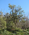 Small sinewy tree in bushland