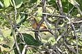 Barred Antshrike (Thamnophilus doliatus) female (4505530306).jpg