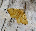 Barred Staw. Eulithis pyraliata - Flickr - gailhampshire.jpg