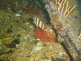 Barred fingerfin at SAS Transvaal DSC09127.JPG