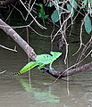 Basiliscus plumifrons -Costa Rica-8.jpg
