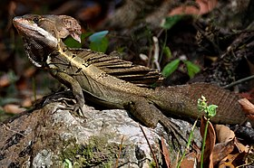 Basiliscus vittatus lizard on a rock, Costa Rica (2009).jpg