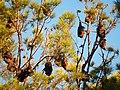 Bats at Sunset (13239402745).jpg
