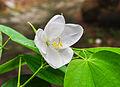 Bauhinia acuminata 15072014.jpg