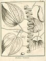 Bauhinia outimouta Aublet 1775 pl 144.jpg