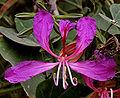 Bauhinia purpurea (Kaniar) in Hyderabad, AP W IMG 2574.jpg