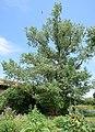 Baum Grindelmühle.jpg