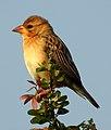 Baya Weaver Ploceus philippinus by Dr. Raju Kasambe DSCN0233 (17).jpg