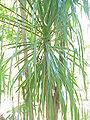 Beaucarnea pliabilis2.jpg