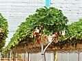 Beauregard-et-Bassac Beauregard fraisiculture (3).jpg