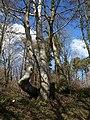Beech tree, Beggar's Bush - geograph.org.uk - 750954.jpg