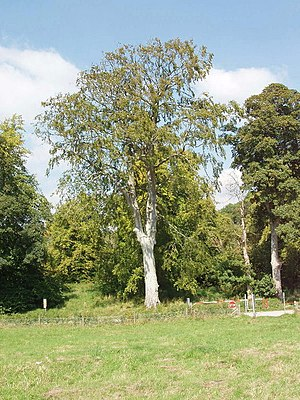 Beech tree in Imber