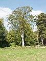Beech tree in Imber - geograph.org.uk - 540437.jpg
