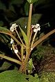 Begonia cavallyensis (Begoniaceae) (24335601822).jpg