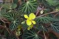 Begonia pearcei GotBot 2015 002.jpg
