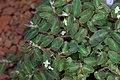 Begonia thelmae GotBot 2015 001.jpg