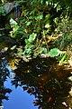 Bellevue Botanical Garden 26 - Yao Garden - reflection with carp.jpg