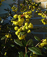 Berberis julianae C.jpg
