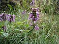 Betony - Stachys officinalis - geograph.org.uk - 1166944.jpg