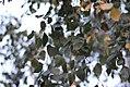 Betula pendula - Bela breza (1).jpg