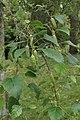 Betula raddeana kz02.jpg