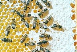 Bienen auf Honigwabe.jpg
