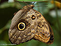 Big eye (23024643750).jpg