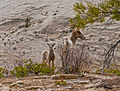 Bighorn Sheep Lamb and Ewe (7011367907).jpg