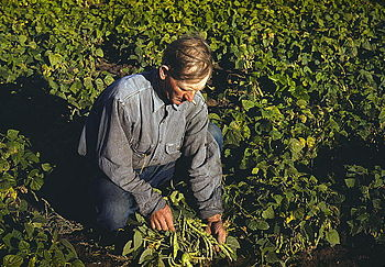 Home farming: Bill Stagg turning up his beans,...