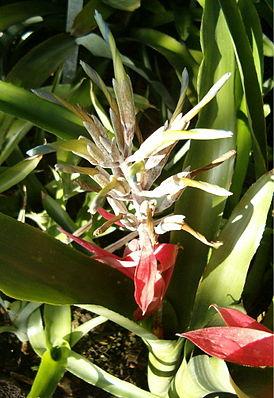 Billbergia macrocalyx, Blütenstand mit roten Hochblättern und hellblauen Kronblättern, die sich beim Welken einrollen.