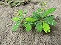 Biophytum sensitivum-little tree plant, life plant, മുക്കുറ്റി (mukkutti).jpeg