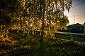 Birch alley in the village Pleshkovo. - panoramio.jpg