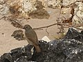 Birds of Barbados 001.jpg