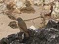 Birds of Barbados 001.jpg