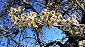 Birnenblüten nach Nachtfrost.jpg