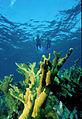 Biscayne National Park V-snorkel on elkhorn.jpg