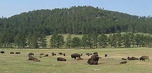 Bison grazing at Wind Cave.jpg