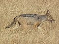 Black-backed Jackal Canis mesomelas in Tanzania 3508 cropped Nevit.jpg