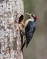 Black-cheeked Woodpecker (16472266920).jpg