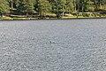 Black-throated Diver (Gavia arctica) - Oslo, Norway 2020-08-04.jpg