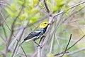 Black-throated Green Warbler -54 100- (36296571796).jpg