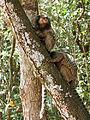 Black-tufted marmoset Belo Horizonte Zoo 2.jpg