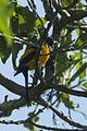 Black-vented Oriole - Oaxaca - Mexico S4E9890 (23781015622).jpg