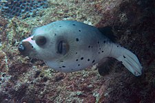 BlackSpotted PufferFishSept2006.jpg