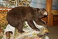 Black Bear (Ursus americanus).jpg