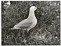 Black Billed Gull at nest. (Larus bulleri) Maori name Tarapunga (4).jpg