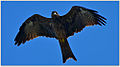 Black Kite by Dharani Prakash.jpg
